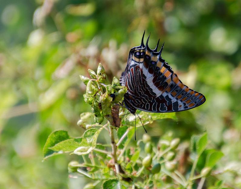 vlinder Ardeche